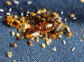 live-dead-bedbugs